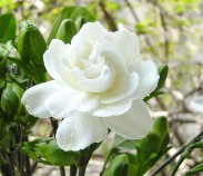 FRAGRANT JASMINE FLOWER
